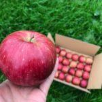 もみがらに包まれたりんごを発送しています。2017年11月20日
