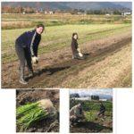 無農薬・無肥料栽培の玉ねぎ定植をしています 2017年11月14日